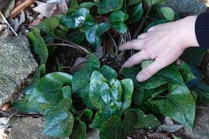 クワイバカンアオイ 屋久島の固有種