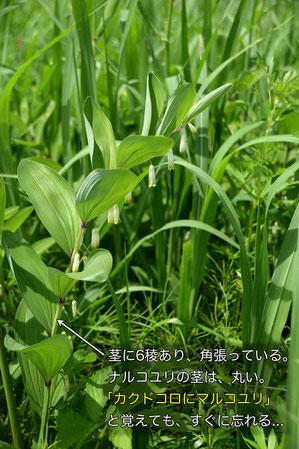 アマドコロの茎は角張る。ナルコユリは丸い。