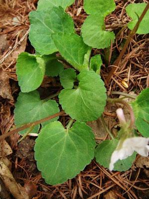 マルバスミレの葉