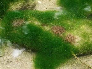 ニホンカワモズク 淡水産紅藻類なので赤茶色に見えます