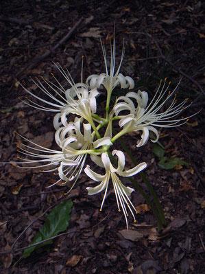 ヒガンバナの白花