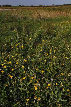 ハチジョウナの群生 八丈島が原産ではない
