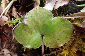 スハマソウの根生葉の表面 ほぼ無毛