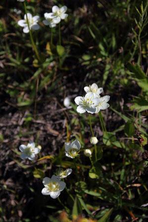 ウメバチソウ (梅鉢草) ニシキギ科ウメバチソウ属