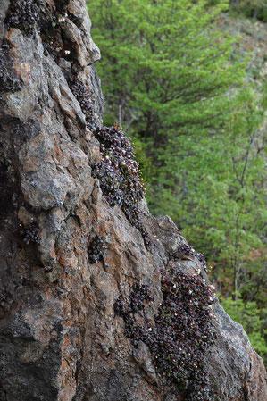 ヒメイワカガミは、垂直な岩壁にも群生していた ここは近づけない
