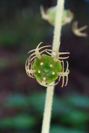 #30 キソノコチャルメルソウの花