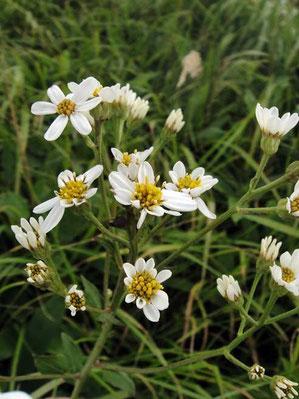 シラヤマギク (白山菊)