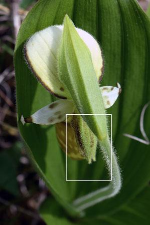 #7 キバナノアツモリソウの合萼片