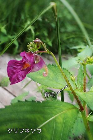 ツリフネソウは、花茎下部に毛がある