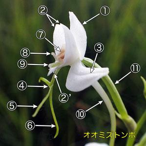 #5 オオミズトンボの花の側面