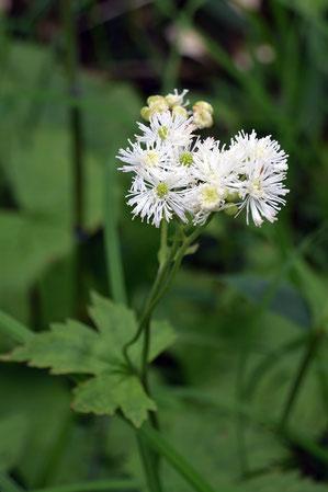 モミジカラマツに花弁はなく、多数の白い糸状のものは雄しべ