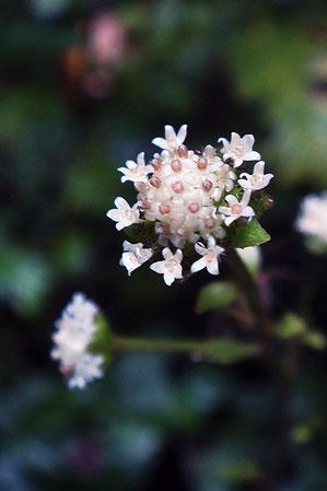 ノブキの花 よく見ると可愛い花です