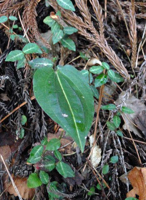 ヒトツボクロの葉