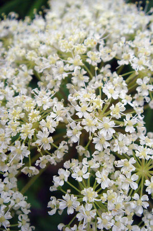 ミヤマゼンコの花