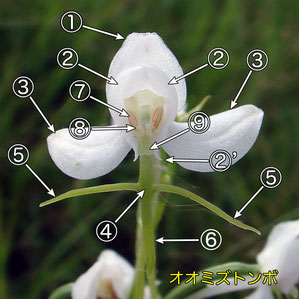 #4 オオミズトンボの花の正面