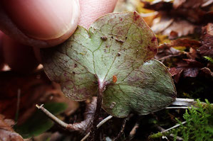 スハマソウの根生葉の裏面 白っぽい長毛が生える