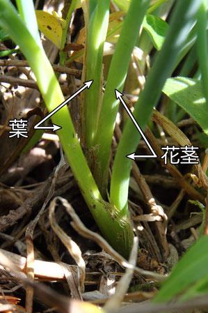 モモイロイズアサツキの観察個体は全て花茎が葉と同じ場所から出ていた