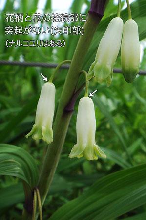 アマドコロ 花柄と花の接続部にご注目