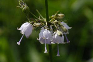 ツリガネニンジン  花冠が短いタイプ