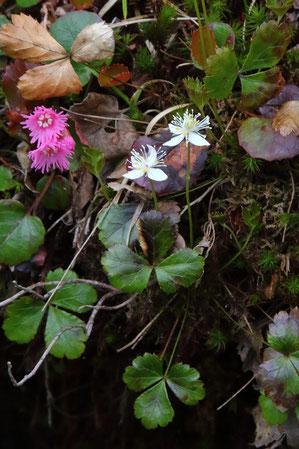 ミツバオウレンとイワカガミはよく一緒に咲く