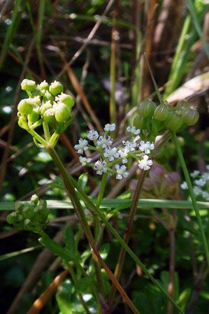 ハマゼリは海岸の砂地に生える越年草です