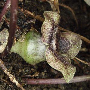 正体不明のカンアオイ属の花の正面