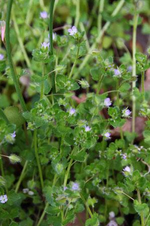 フラサバソウ 茎は匍匐し長さ50cmに。全体に白毛が生える。