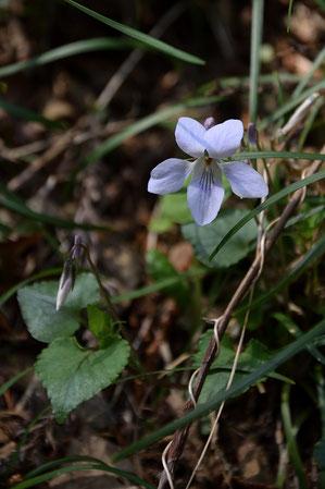 アカフタチツボスミレ 葉脈が赤紫色を帯びる