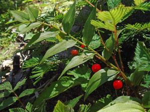 タケシマラン(竹縞蘭)の果実 ユリ科