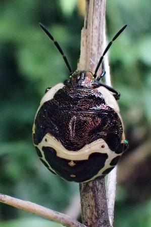 アカスジキンカメムシの5齢幼虫がいた