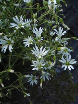 ミヤマミミナグサ (深山耳菜草) ナデシコ科 ミミナグサ属