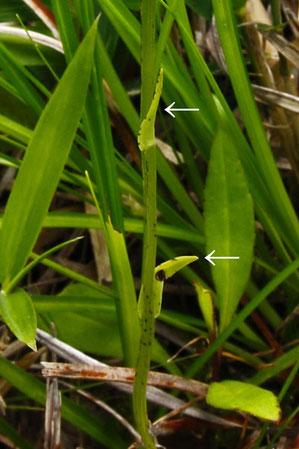 ヤマサギソウの鱗片葉は2〜5で披針形