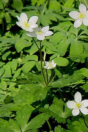 #10 3花が開花したニリンソウ