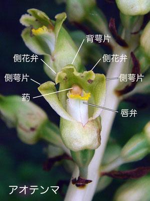 #6 アオテンマの花の構造(背萼片、側花弁、側萼片、唇弁、葯)