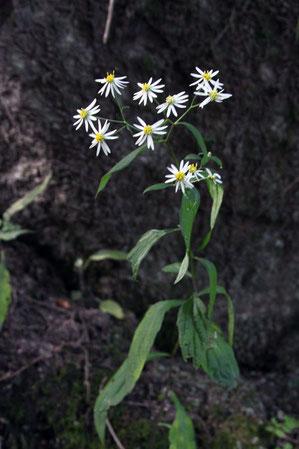 ナガバシロヨメナ  シロヨメナの渓流型変種