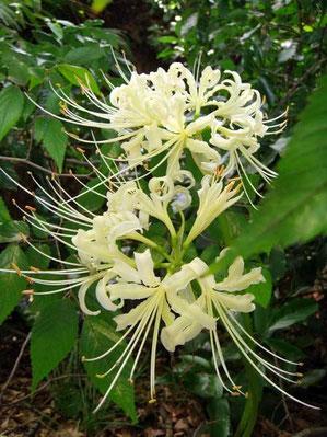ヒガンバナ(白花)