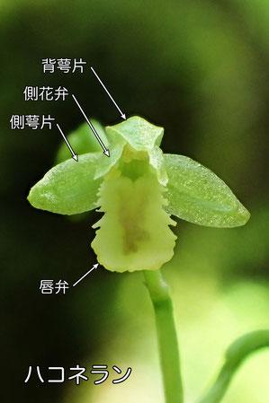 #4 ハコネランの花の正面 (B)