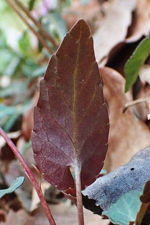 葉の裏面が紫色を帯びることが名の由来です
