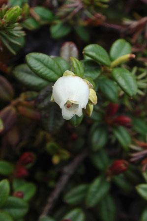 コメバツガザクラ (米葉栂桜) ツツジ科 コメバツガザクラ属
