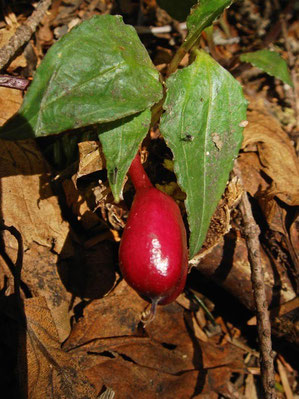ツルリンドウの果実 (蔓竜胆) リンドウ科