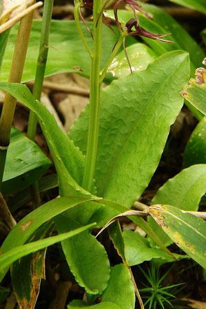 ジガバチソウの葉