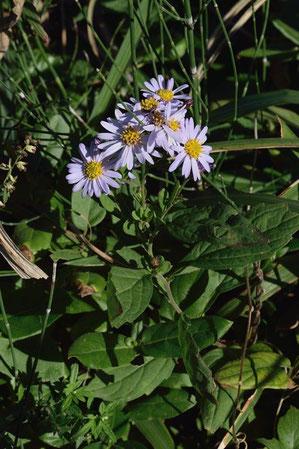 キク科シオン属の花