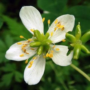 #11 サンリンソウの受粉が成功した花