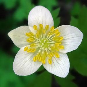 #9 サンリンソウの花 拡大−2
