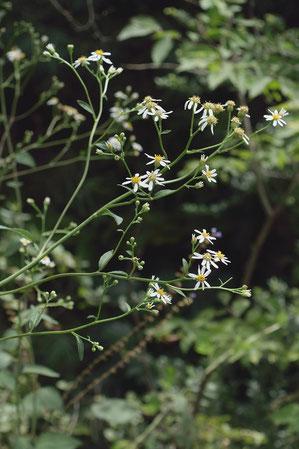 シラヤマギク (白山菊) キク科 シオン属