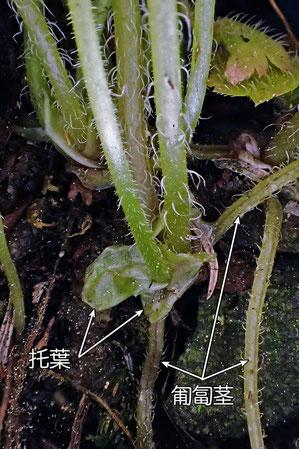 #7-2-A コチャルメルソウの匍匐茎と托葉