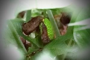 特徴的な仏炎苞はしおれ、緑色の果実ができていた
