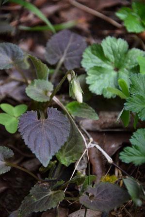 タカオスミレ (高尾菫) 葉の表面がこげ茶色になる