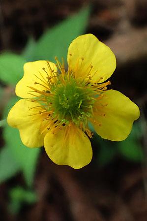 ダイコンソウの花は雄しべも雌しべも多数あります