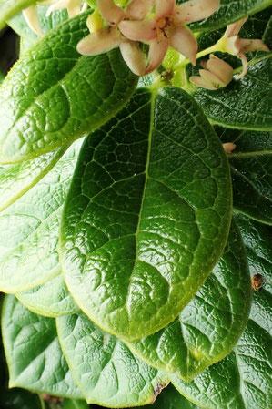 クロバナイヨカズラの葉の表面 更に厚く堅い